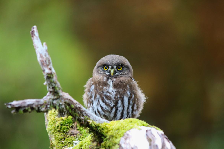 Jeune chouette dans la forêt magellanique